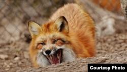 Дикая лисица