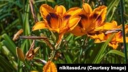 Лилейник в Никитском ботсаду