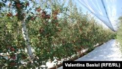 Livada hiperintensivă de mere. Imagine generică