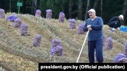 Аляксандар і Мікалай Лукашэнкі зьбіраюць бульбу на «прэзыдэнцкім полі», 2017 год