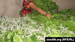 Гусеница тутового шелкопряда питается исключительно листьямишелковицы(Иллюстративное фото).
