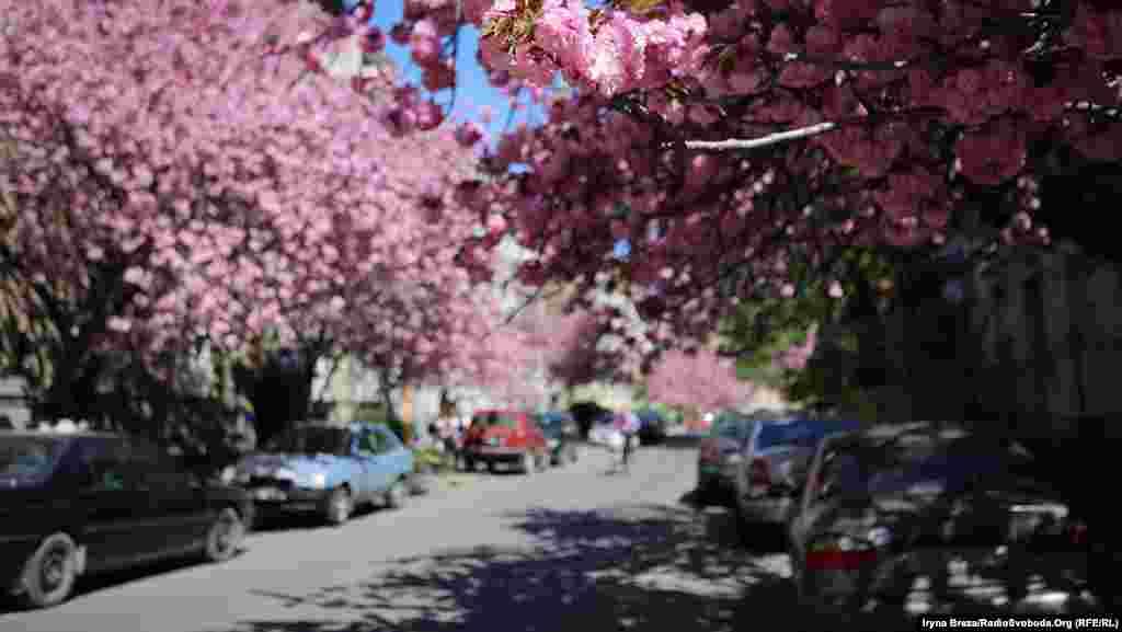 Старі розлогі дерева можна зустріти майже у всіх зелених зонах міста