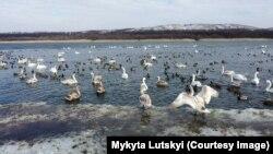 Лебеді на озері у заповеднику «Клебан Бик», що на Донеччині. Лютий 2020 року