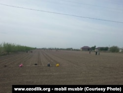 Uzbekistan - school teachers are working in cotton field in Khorazm region