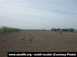 Uzbekistan - school teachers are working in cotton field in Khorazm region