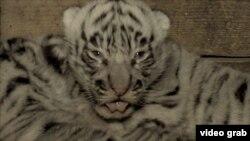 Тигренок белого тигра в Тбилисском зоопарке в 2013 году