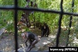 Пара шимпанзе у сафарі-парку
