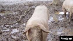 Armenia -- Pigs in a village, undated.