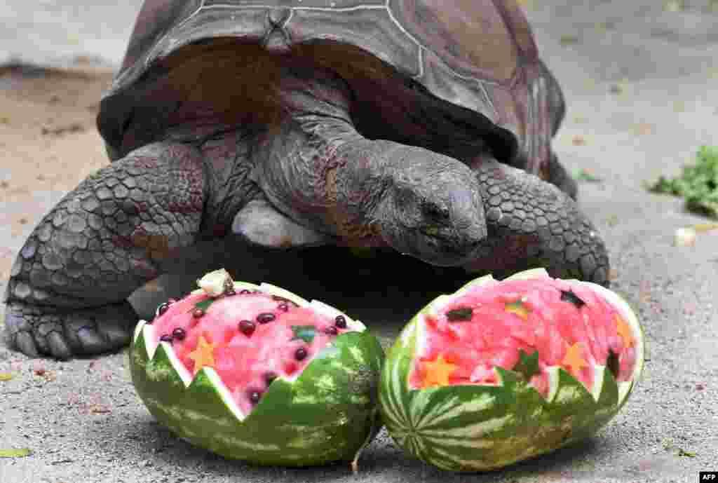 Слоновая черепаха собирается съесть свой праздничный арбуз