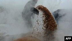 آرشیف، یک دهقان افغانی برنج را از چوب دانه در مزرعه خود در حومه جلال آباد جدا میکند. January 20, 2015