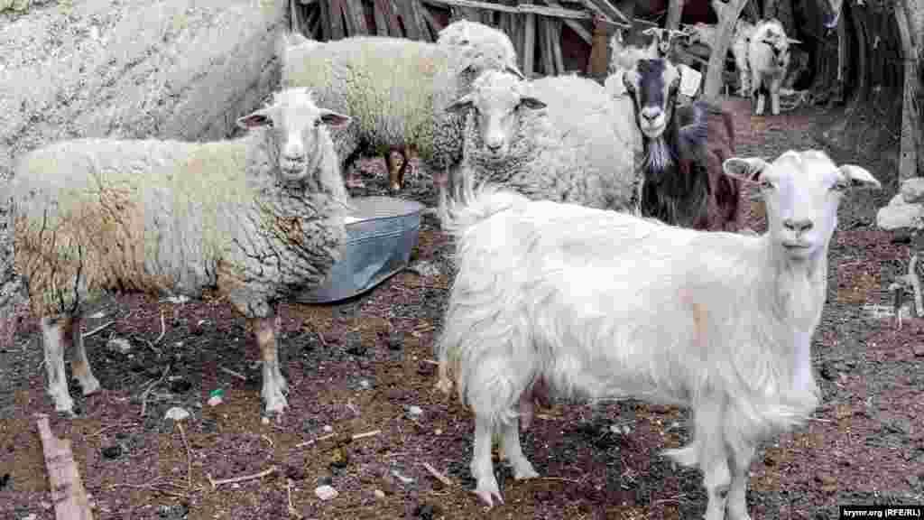 Кози і вівці в невеликому загоні по сусідству