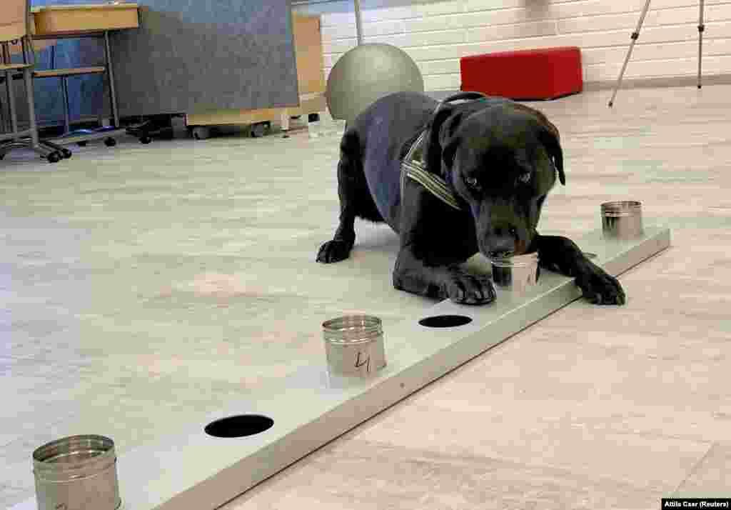 Кучето трагач Мина, обучено да открие коронавирус од примероци на пристигнатите патници, работи на аеродромот во Хелсинки, Финска, 15 септември 2020 година.