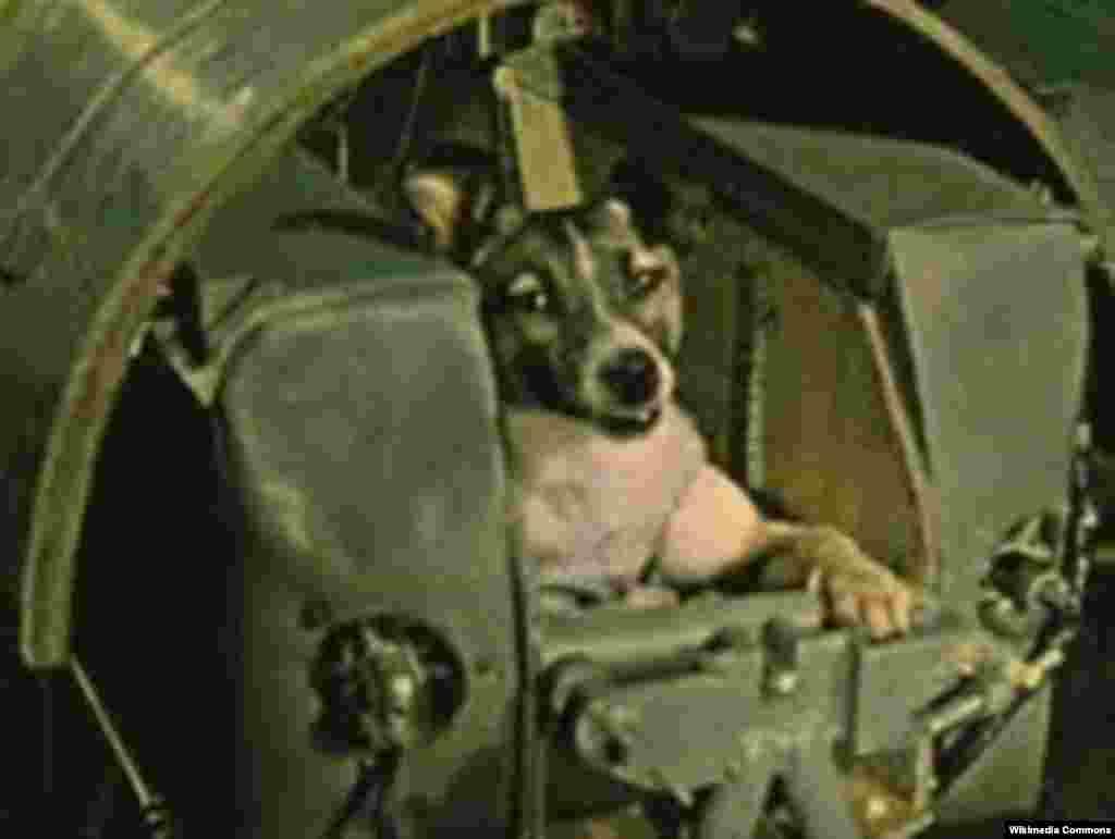 در این عکس لایکا داخل کپسولی برای ارسال به فضا بسته شده است. دلیل انتخاب سگهای ماده -از جمله لایکا- این بود که بر خلاف سگهای نر، آنها برای ادرار، یک پایشان را بالا نمیبرند.