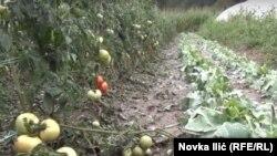 Uništeno povrće