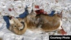 Архар, убитый браконьерами