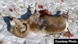 Снежный баран, убитый браконьерами с вертолета на Алтае