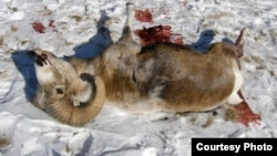 Застреленный архар на месте крушения вертолета в Республике Алтай, 9 января 2009 года