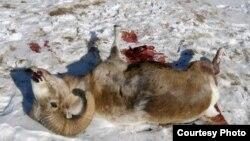 Атуға тыйым салынған аргали арқары құлаған тікұшақтың қасында жатыр. Ресей, Алтай өңірі, қаңтар 2009 жыл.