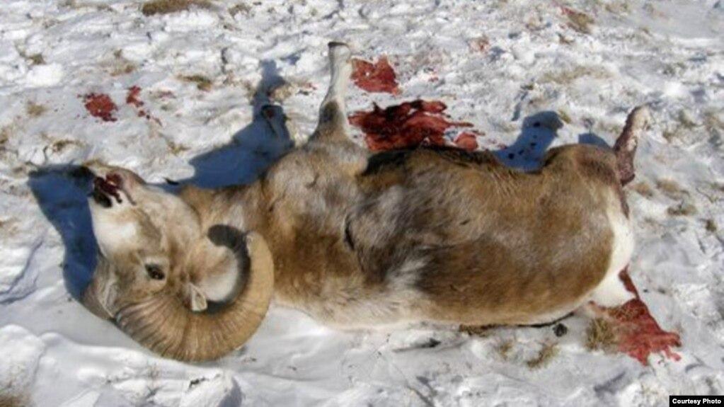 Снежный баран, убитый охотниками на Алтае