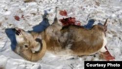 Мертвая особь самца архара. Иллюстративное фото.