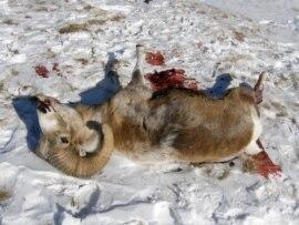 Охота на архаров в январе 2009 года закончилась трагедией