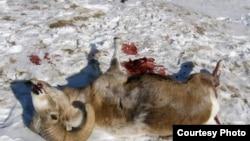 Суд не усмотрел причастности выживших после крушения вертолета чиновников к гибели архаров, фото сайта altapress.ru