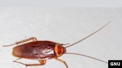 Таракан американский (<i> Periplaneta americana</i>).
