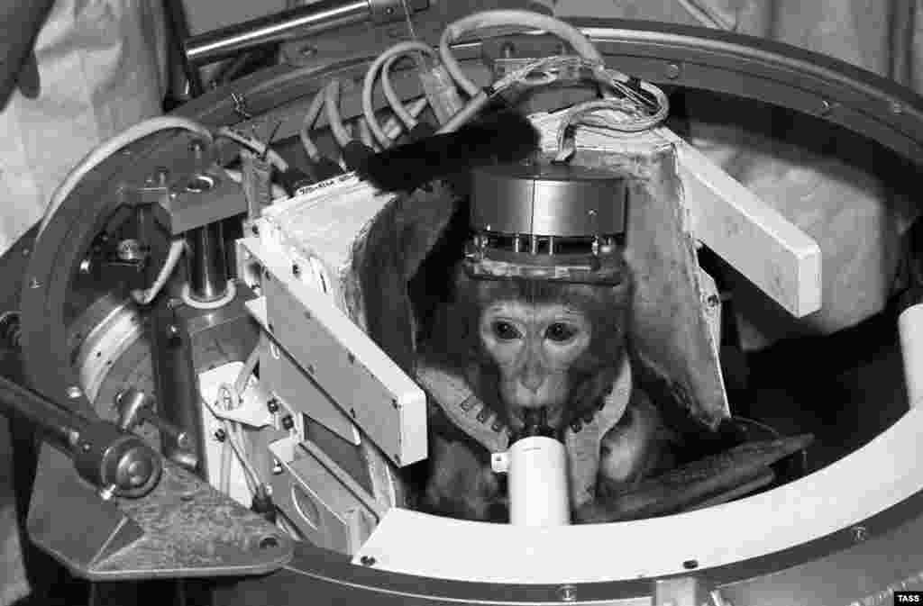 Soviet monkey Dryoma pictured in October 1989 during a pre-flight examination. After making it back safely to Earth, Dryoma was given to Cuban leader Fidel Castro.