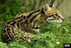 Оцелот, исчезающий вид в амазонских лесах