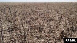 جفاف هور العظيم شرق محافظة ميسان