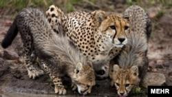یوزپلنگ آسیایی باقی مانده در ایران بین ۳۷ تا ۵۰ قلاده، تخمین زده می شود.
