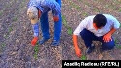 Bu il İmişlinin Aranlı kəndində 600 hektar pambıq əkilib.