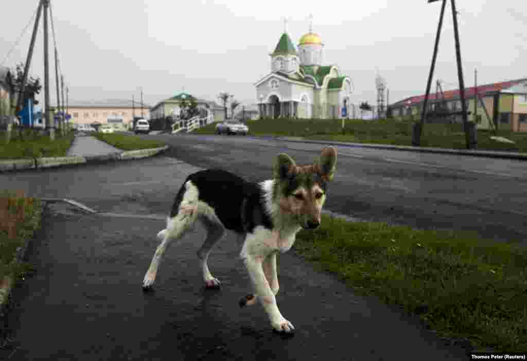 A young dog sidesteps a Reuters photographer on Kunashir Island, one of four islands that Russia has settled but Japan calls its Northern Territories. Kunashir lies just 20 kilometers from the Japanese mainland.