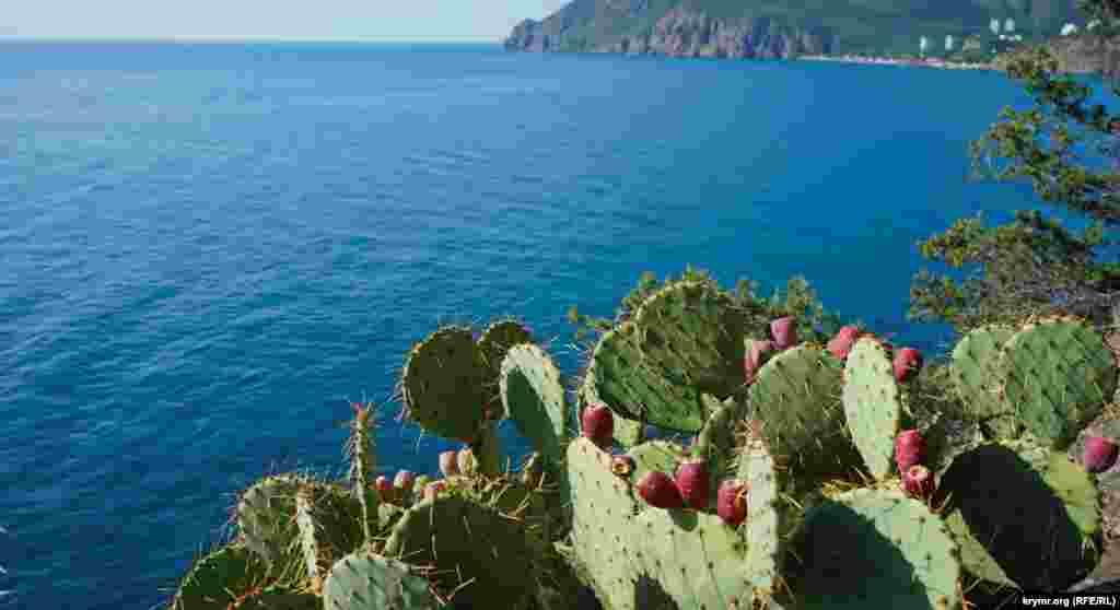 На стрімких схилах дозрівають плоди кактуса