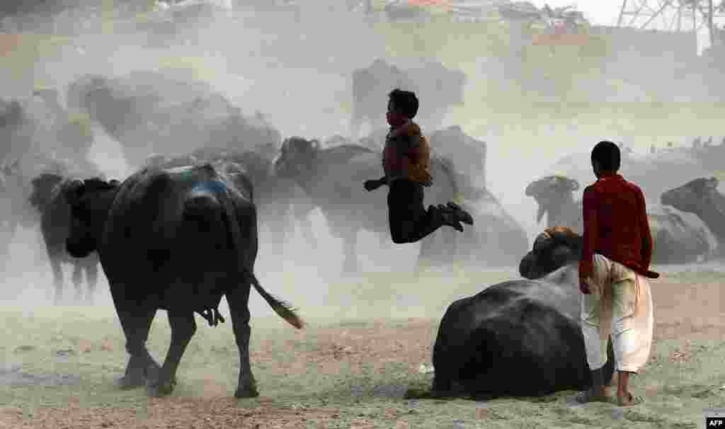 Pakistani residents play among buffalo on the outskirts of Lahore. (AFP/Arif Ali)
