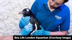 Пингвин, которого будут воспитывать в Лондонском аквариуме