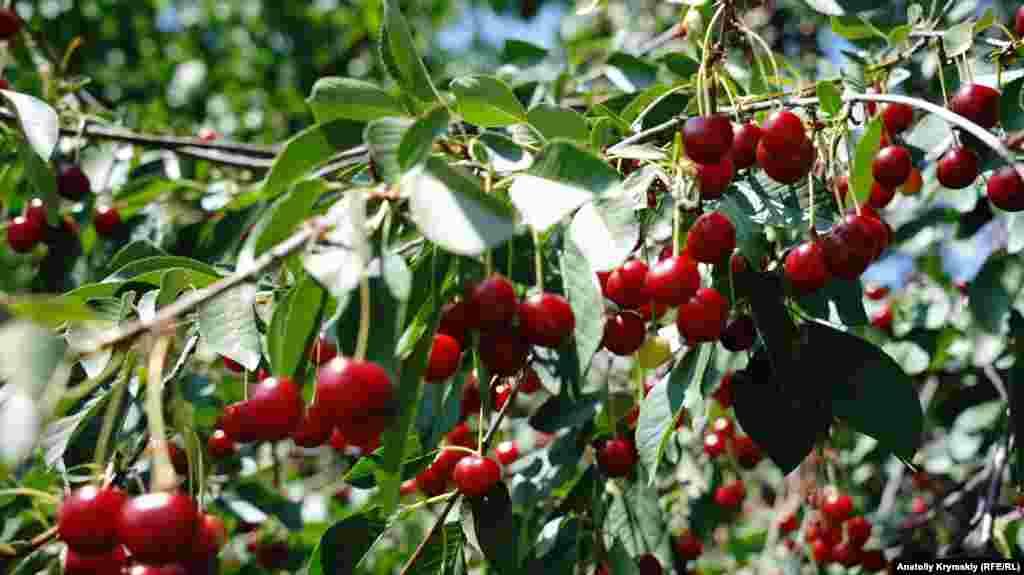 В этом году в селе хорошо уродили вишни