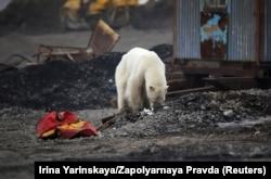 Zalutali polarni medved viđen je u junu u industrijskom gradu Norilsk, stotinama kilometara od svog prirodnog staništa