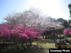 Цветущей сакурой в апреле в Японии еще можно любоваться бесплатно