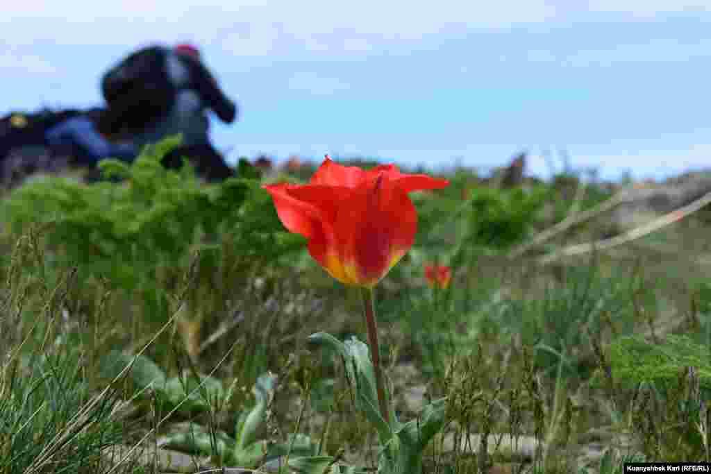 Распустившийся тюльпан.