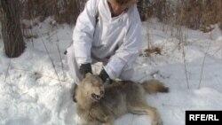 Охотник с убитым волком. Иллюстративное фото.