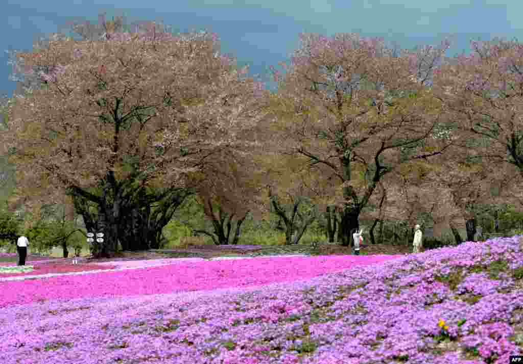 Visitors enjoy walking through moss phlox at a garden in Tatebayashi, Gunma Prefecture, about 80 kilometers north of Tokyo. More than 400,000 blossoming moss phlox are expected to attract thousands of visitors. (AFP/Kazuhiro Nogi)