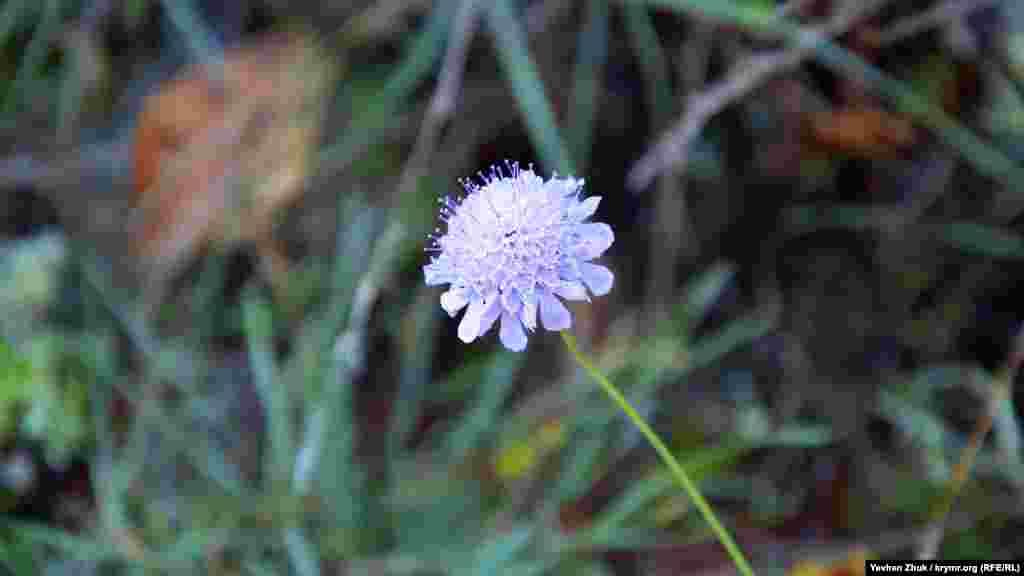 Обманута аномальним осіннім теплом біля стежки розцвіла самотня квітка