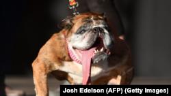 Бульдог За-За став «найогиднішим псом на світі» на конкурсі в Петалумі поблизу Сан-Франциско в Каліфорнії.