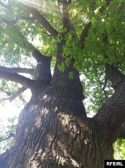 600-літній дуб у Святогірську