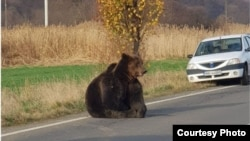 Bear hit by car left 17 hours on the roadside