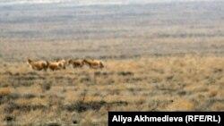 Алтынемел қорығында жайылып жүрген жануарлар. Алматы облысы, 30 наурыз 2012 жыл.
