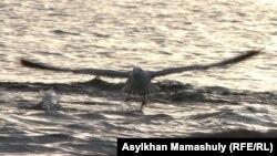 Чайка на берегу Каспийского моря. Актау.