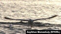 Су бетіндегі шағала. Каспий теңізі, Маңғыстау облысы. (Көрнекі сурет)