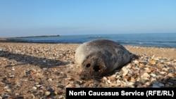 Мертвый тюлень, Махачкала
